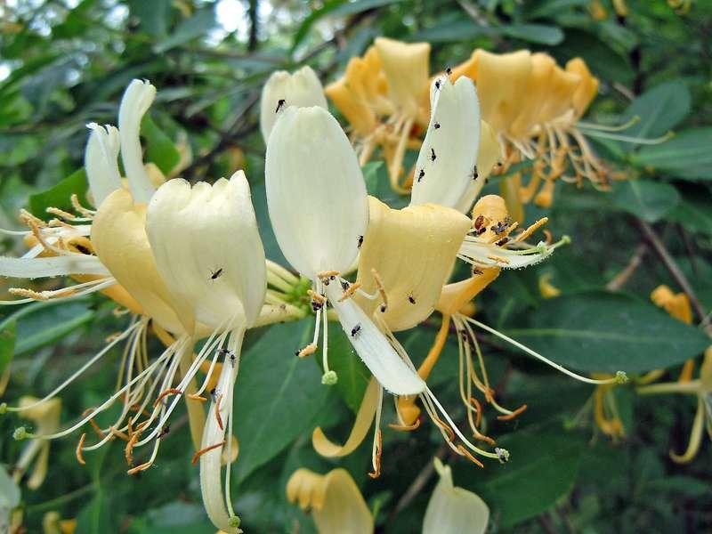 Wald-Geißblatt (Lonicera periclymenum) im Elmpter Schwalmbruch; Foto: 20.06.2010, Niederkrüchten