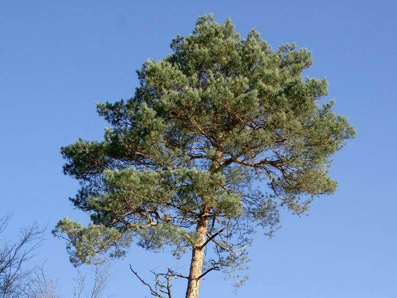 Wald-Kiefer (Pinus sylvestris) im Elmpter Schwalmbruch; Foto: 08.11.2009, Niederkrüchten