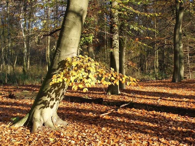 Herbstliches Laub einer Rotbuche (Fagus sylvaticus) im Elmpter Schwalmbruch; Foto: 08.11.2009, Niederkrüchten