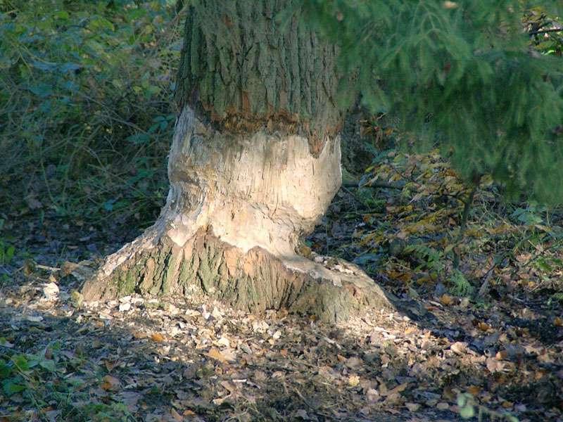 Biberspuren im Elmpter Schwalmbruch; Foto: 08.11.2009, Niederkrüchten
