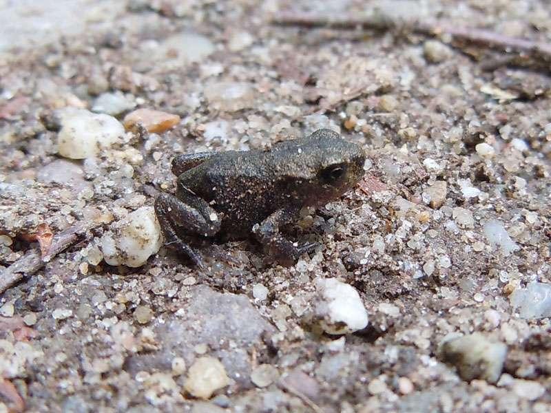 Junge Erdkröte (Bufo bufo) im Elmpter Schwalmbruch; Foto: 20.06.2010, Niederkrüchten