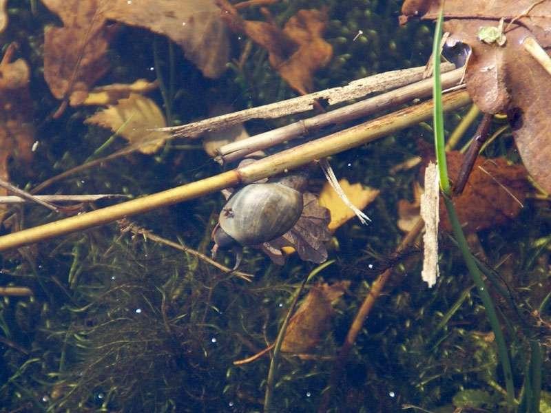 Spitzschlammschnecke (Lymnaea stagnalis) im Elmpter Schwalmbruch; Foto: 08.11.2009, Niederkrüchten