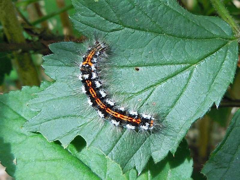 Raupe des Schwans (Sphrageidus similis) im Elmpter Schwalmbruch; Foto: 20.06.2010, Niederkrüchten