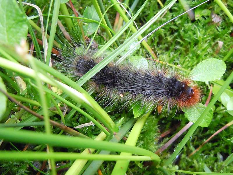 Raupe des Braunen Bärs (Arctia caja) im Elmpter Schwalmbruch; Foto: 20.06.2010, Niederkrüchten