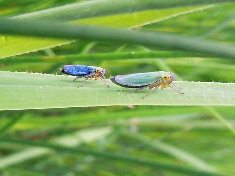 Binsenschmuckzikaden (Cicadella viridis) im Elmpter Schwalmbruch (links ein Männchen und rechts ein Weibchen); Foto: 20.06.2010, Niederkrüchten