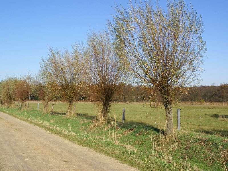 Weg mit Kopfweiden im Elmpter Schwalmbruch; Foto: 08.11.2009, Niederkrüchten