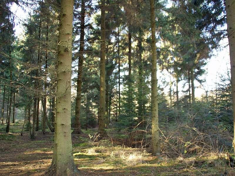 In einem Bereich des Elmpter Schwalmbruchs stehen Nadelbäume; Foto: 08.11.2009, Niederkrüchten