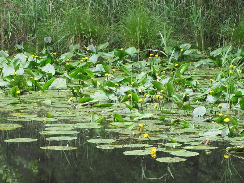 Gelbe Teichrosen (Nuphar lutea) im Elmpter Schwalmbruch; Foto: 20.06.2010, Niederkrüchten