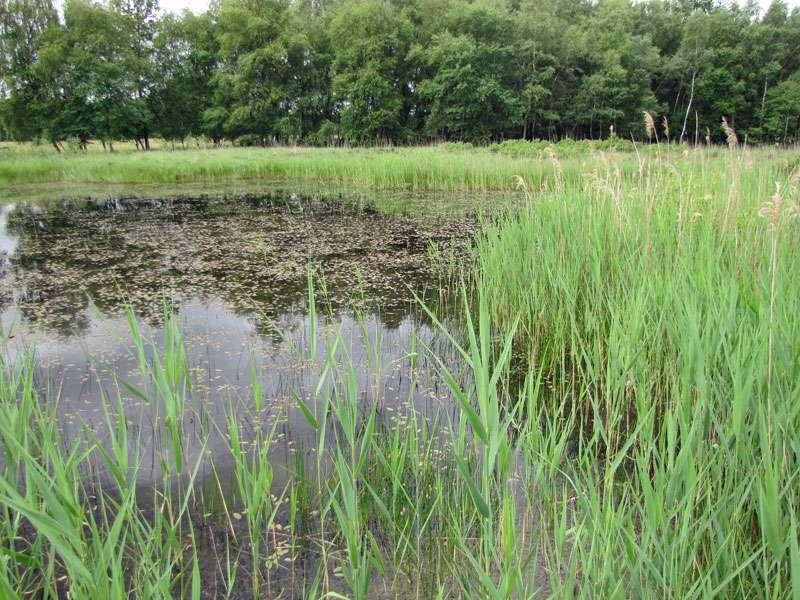 Im leuchtenden Frühlingsgrün an den Gewässern im Elmpter Schwalmbruch leben viele Insekten und andere Tiere; Foto: 20.06.2010, Niederkrüchten