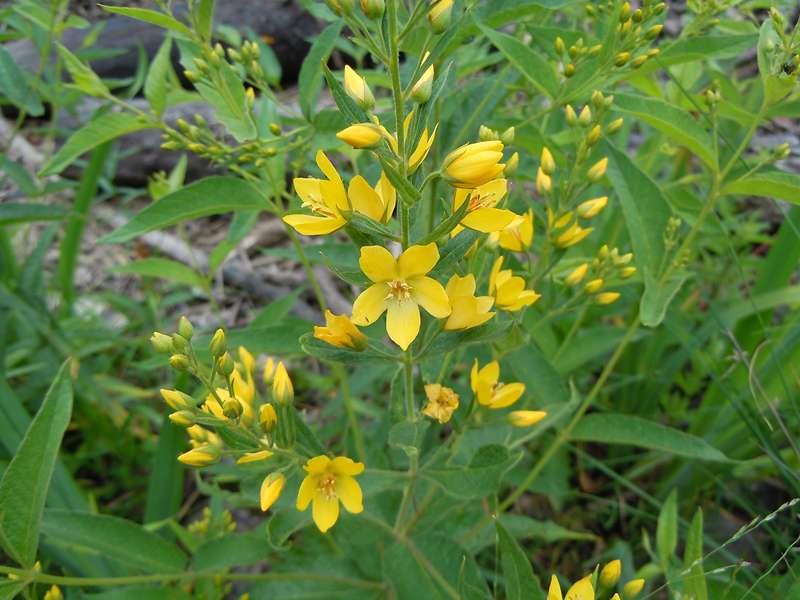 Gewöhnlicher Gilbweiderich (Lysimachia vulgaris) im Elmpter Schwalmbruch; Foto: 20.06.2010, Niederkrüchten
