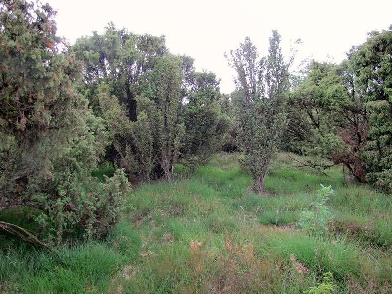 Wacholder (Juniperus communis) in der Heidelandschaft im Elmpter Schwalmbruch; Foto: 20.06.2010, Niederkrüchten