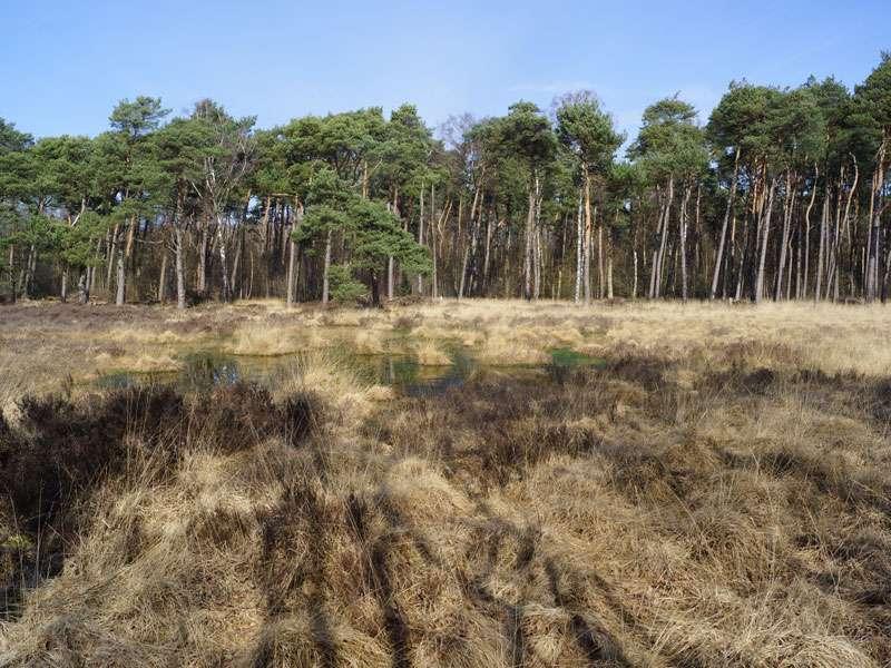 Wald-Kiefern (Pinus sylvestris) säumen im Naturschutzgebiet Fürstenkuhle den moorigen Bereich; Foto: 26.03.2016, Gescher