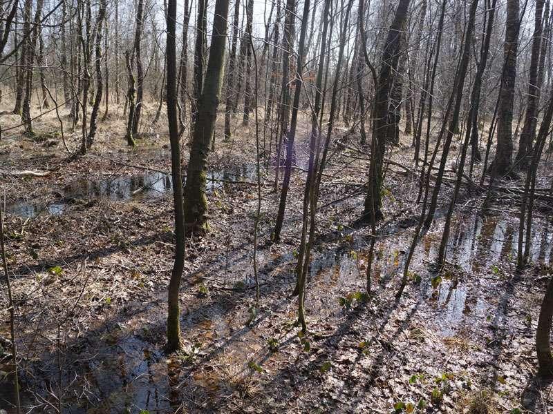 Im Naturschutzgebiet Fürstenkuhle haben viele Bäume einen sehr nassen Standort; Foto: 26.03.2016, Gescher