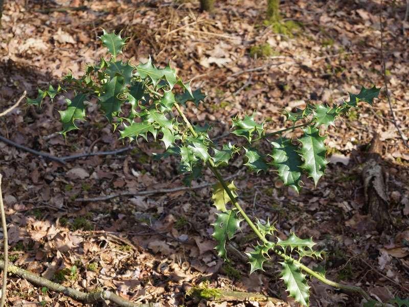 Europäische Stechpalme (Ilex aquifolium) im Naturschutzgebiet Fürstenkuhle; Foto: 26.03.2016, Gescher