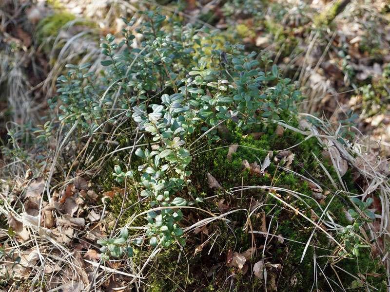 Vaccinium sp. im Naturschutzgebiet Fürstenkuhle; Foto: 26.03.2016, Gescher