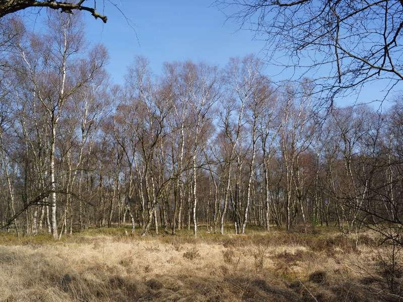 Es gibt viele Birken (Betula sp.) im Naturschutzgebiet Fürstenkuhle; Foto: 26.03.2016, Gescher