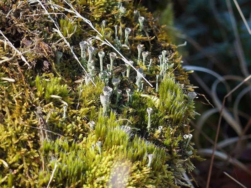Flechten (Cladonia sp.) im Naturschutzgebiet Fürstenkuhle; Foto: 26.03.2016, Gescher