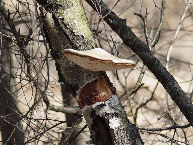 Birkenporling (Piptoporus betulinus) im Naturschutzgebiet Fürstenkuhle; Foto: 26.03.2016, Gescher