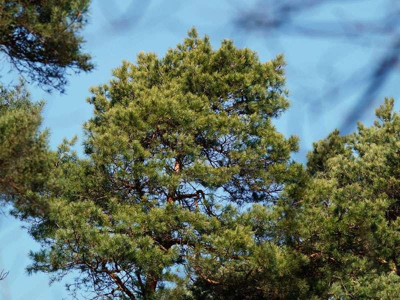 Wald-Kiefer (Pinus silvestris) im Naturschutzgebiet Fürstenkuhle; Foto: 26.03.2016, Gescher