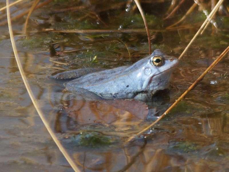 Männlicher Moorfrosch (Rana arvalis) im Naturschutzgebiet Fürstenkuhle; Foto: 26.03.2016, Gescher
