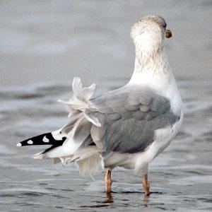 Vor allem in der Nebensaison weht am Strand von Langeoog oft ein kräftiger Wind, der den Menschen die Haare und den Möwen die Federn zerzaust; Foto: September 2001
