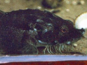 Steinpicker (Hooknose, Agonus cataphractus); Foto: September 2001, Langeoog