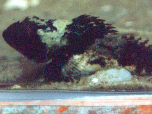 Seeskorpion (Shorthorn Sculpin, Myoxocephalus scorpius); Foto: September 2001, Langeoog