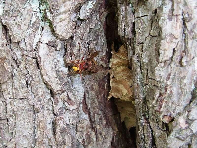 Hornisse (Vespa crabro); Foto: 06.10.2013, Münster