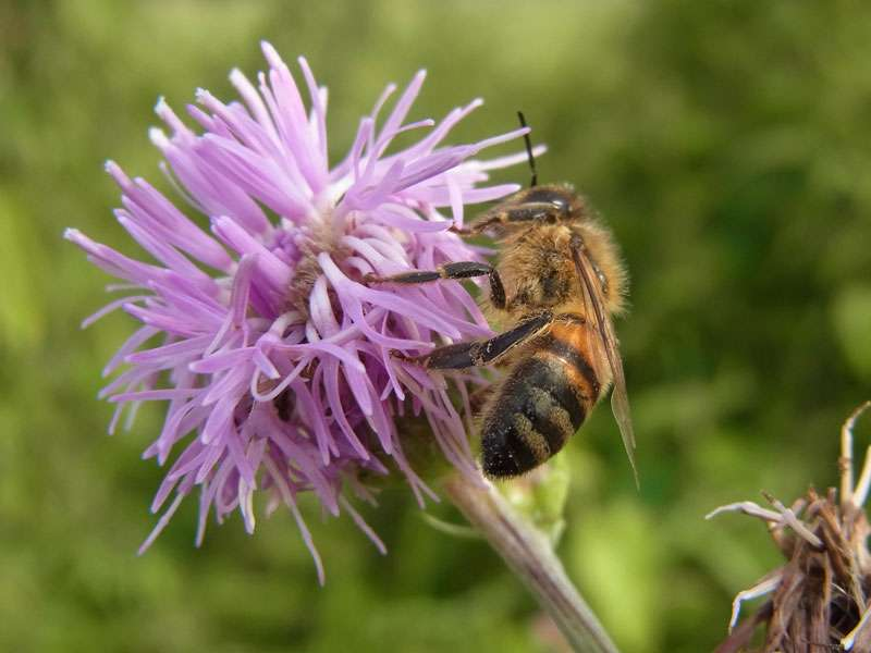 Westliche Honigbiene (Apis mellifera); Foto: 17.08.2014, Münster