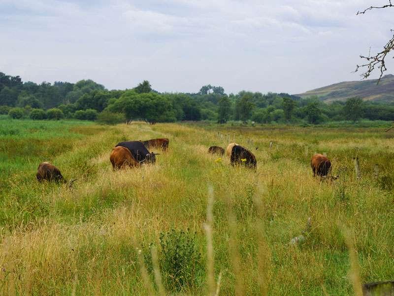 Einige Flächen im Gebiet Rieselfelder werden von Heckrindern beweidet; Foto: 19.07.2015, Münster