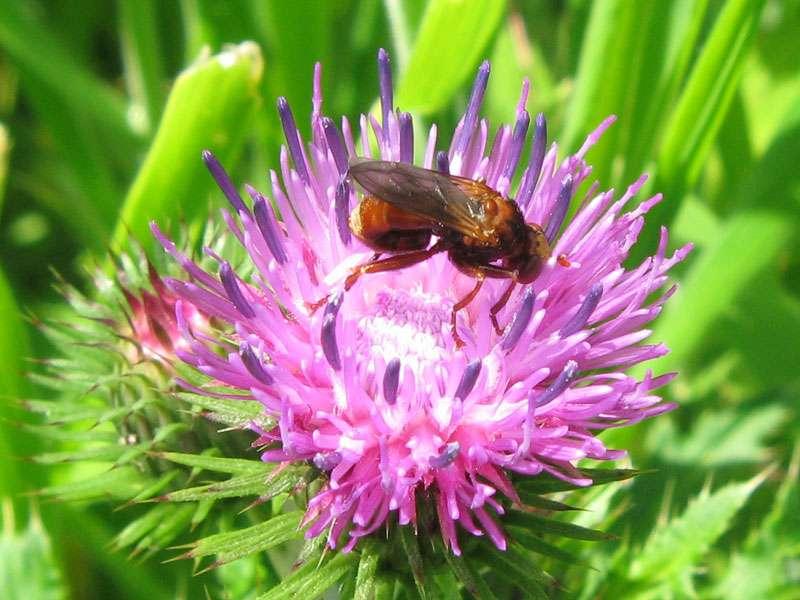 Gemeine Breitstirnblasenkopffliege (Sicus ferrugineus); Foto: 18.06.2011, Münster