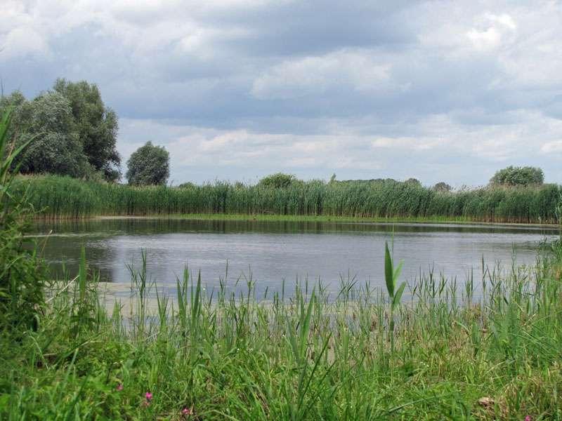 Viele der Gewässer in den Rieselfeldern sind mit einer Röhrichtzone umgeben; Foto: 18.06.2011, Münster