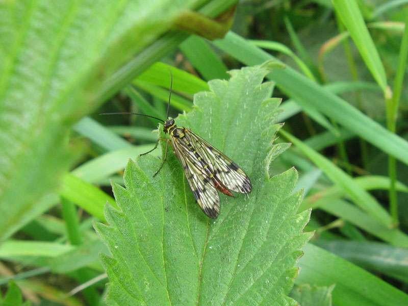 Weibliche Gewöhnliche Skorpionsfliege (Panorpa communis); Foto: 18.06.2011, Münste