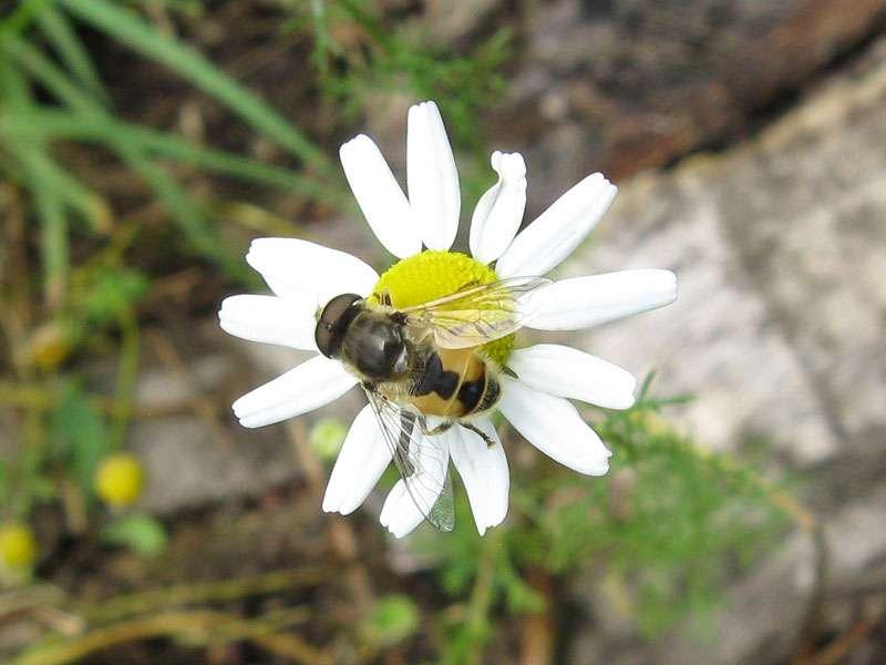 Männliche Kleine Keilfleck-Schwebfliege (Eristalis arbustorum); Foto: 18.06.2011, Münster