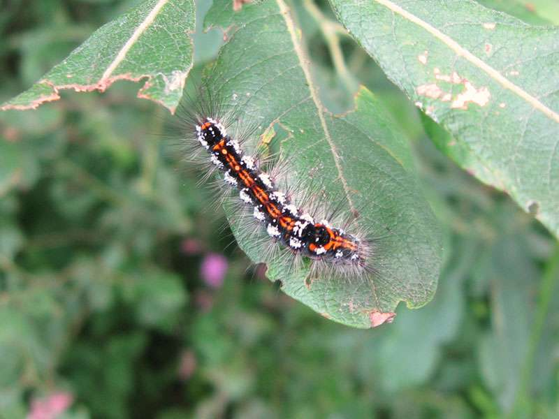 Raupe des Schwans (Sphrageidus similis); Foto: 18.06.2011, Münster
