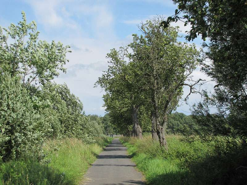 Mancherorts säumen in den Rieselfeldern Birnbäume den Weg; Foto: 18.06.2011, Münster