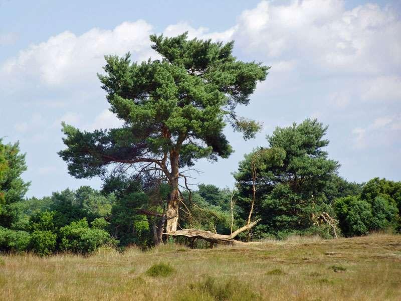 Diese Wald-Kiefer (Pinus sylvestris) in der Westruper Heide hat einen Sturmschaden erlitten; Foto: 26.07.2045, Haltern am See