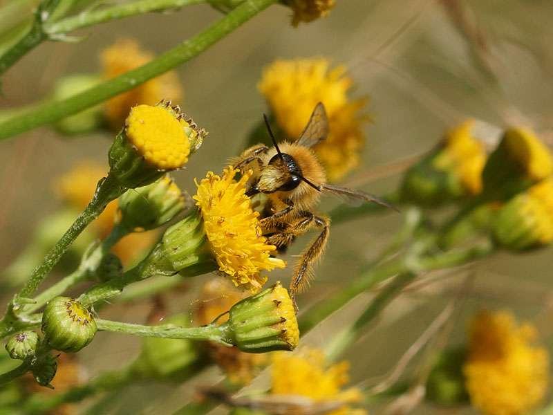 Unbestimmte Biene auf Jakobs-Greiskraut (Senecio jacobaea) in der Westruper Heide; Foto: 26.07.2015, Haltern am See