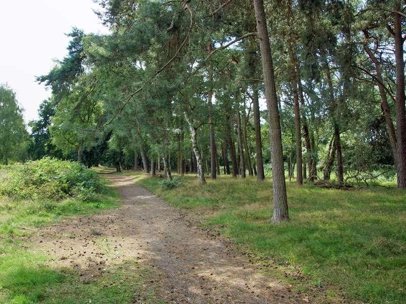 In einem Teilbereich der Westruper Heide führt der Weg an Wald-Kiefern (Pinus sylvestris) vorbei; Foto: 26.07.2015, Haltern am See