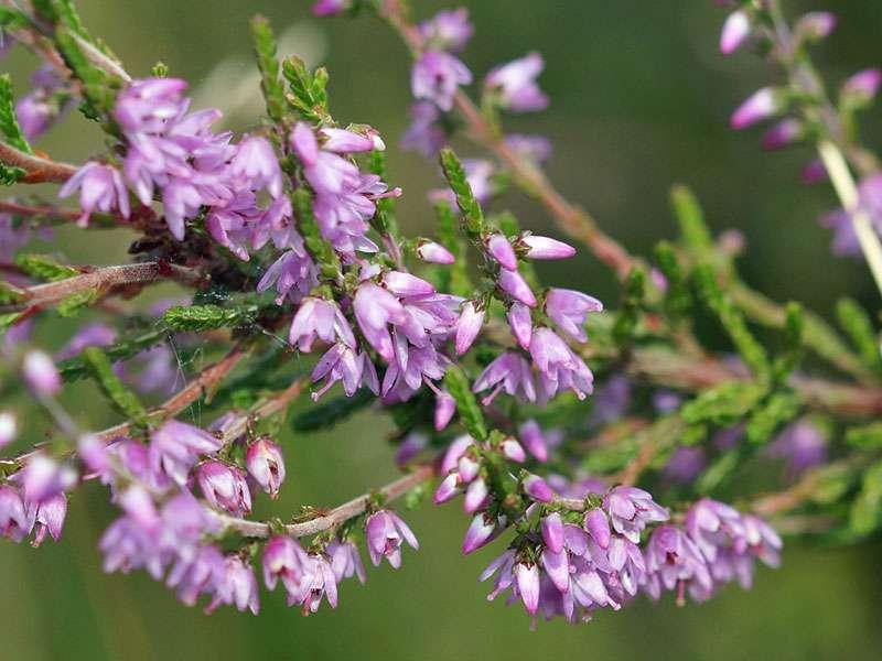 Besenheide (Calluna vulgaris) in der Westruper Heide; Foto: 26.07.2015, Haltern am See