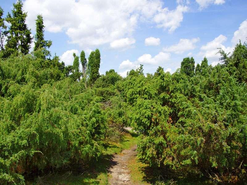 Eine Besonderheit der Westruper Heide sind die mit Wacholder (Juniperus communis) bewachsenen Bereiche; Foto: 26.07.2015, Haltern am See
