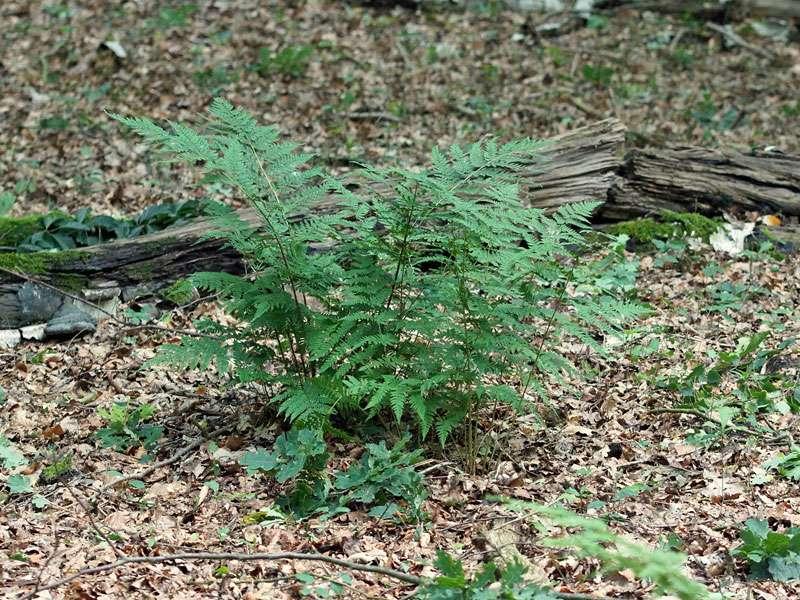 Adlerfarn (Pteridium aquilinum) in der Westruper Heide; Foto: 26.07.2015, Haltern am See
