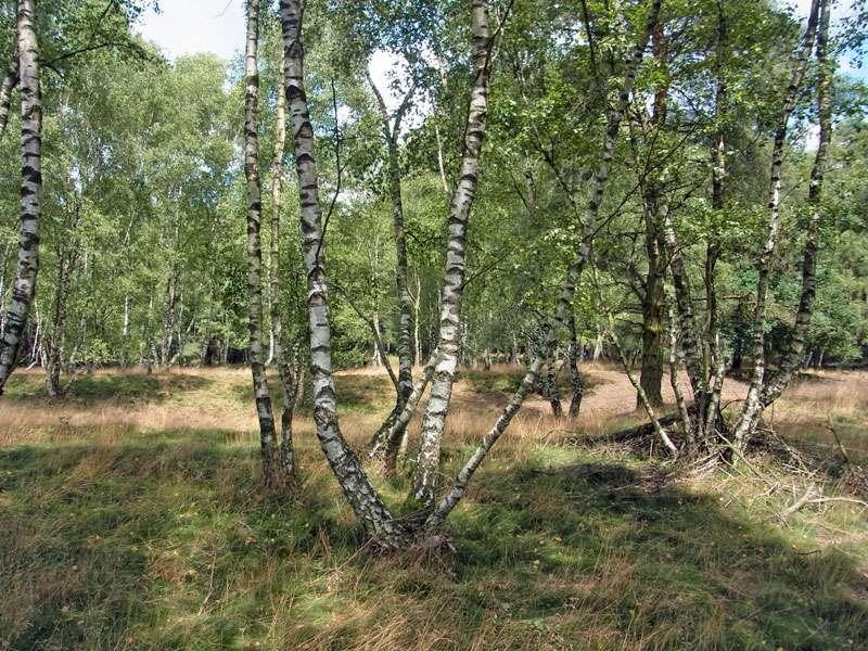 Zu den typischen Bäumen der Westruper Heide gehören die Sand-Birken (Betula pendula); Foto: 26.07.2015, Haltern am See