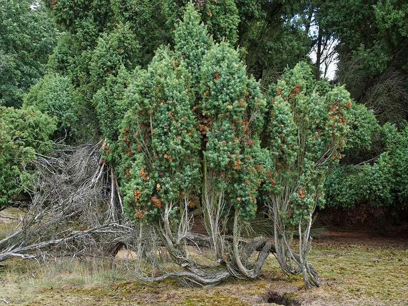 Wacholder (Juniperus communis) ist in der Westruper Heide weit verbreitet; Foto: 26.07.2015, Haltern am See