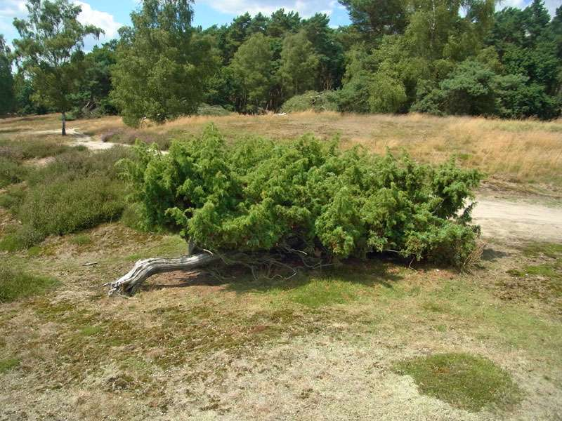 So mancher Wacholder (Juniperus communis) in der Westruper Heide hat einen kriechenden Wuchs; Foto: 26.07.2015, Haltern am See
