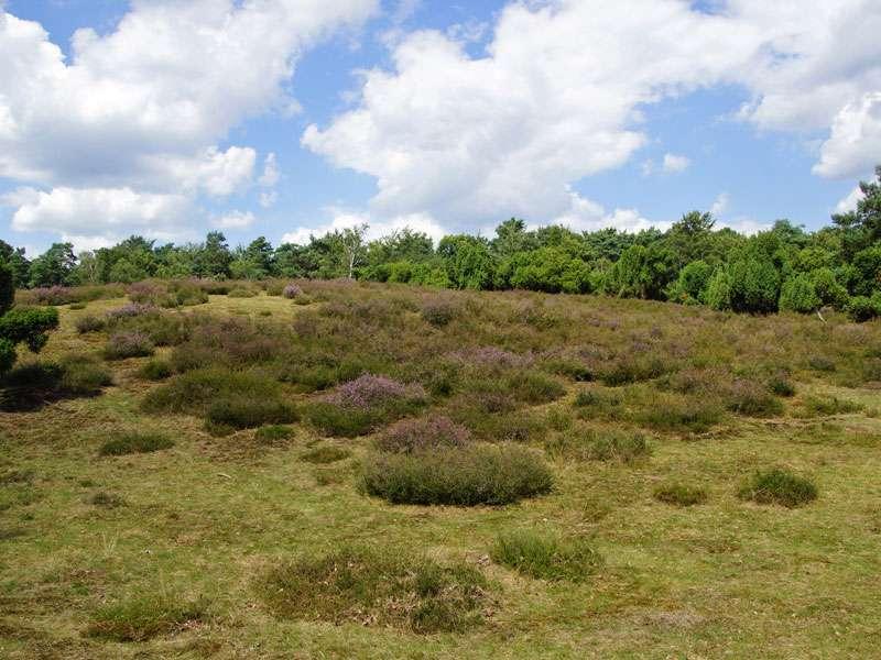 An offenen Stellen bedeckt Besenheide (Calluna vulgaris) vielerorts den sandigen Boden der Westruper Heide; Foto: 26.07.2015, Haltern am See