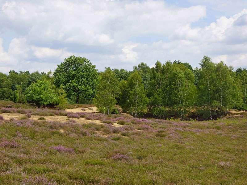 Im Sommer blüht in der Westruper Heide die Besenheide (Calluna vulgaris) und färbt die Landschaft zart violett; Foto: 26.07.2015, Haltern am See