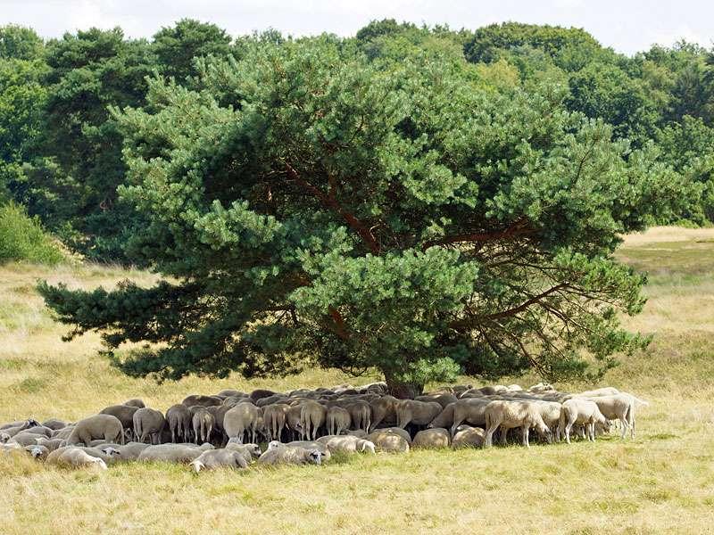 Schattenspender Wald-Kiefer (Pinus sylvestris) in der Westruper Heide; Foto: 26.07.2015, Haltern am See