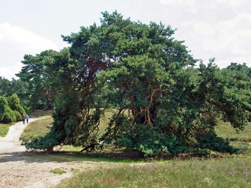 Wald-Kiefern (Pinus sylvestris) haben in der Westruper Heide oft einen kompakten Wuchs; Foto: 26.07.2015, Haltern am See