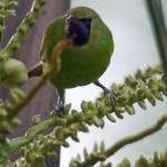 Blattvögel (Leafbirds, Chloropseidae)